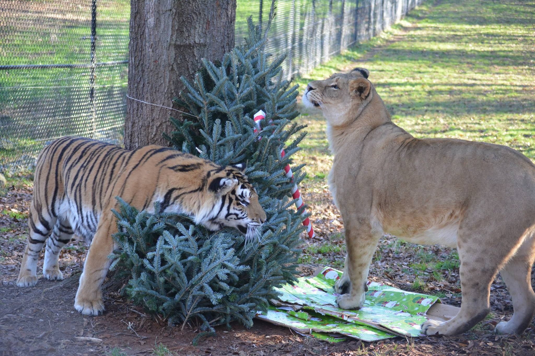 Libby and Tiger Lily Decorating for the Holidays at Noah's Ark Animal Sanctuary in Locust Grove, GA
